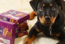 Photo of Puppy Almost Died For Eating Chocolate – Reminder To All Dog Owners