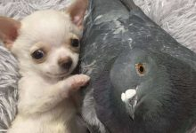 Photo of The Unique Story Between A Chihuahua And A Pigeon