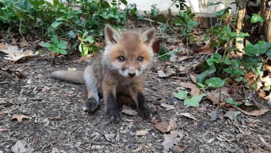 Photo of Baby Fox Rescued